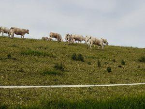 Vaches à Laveraët